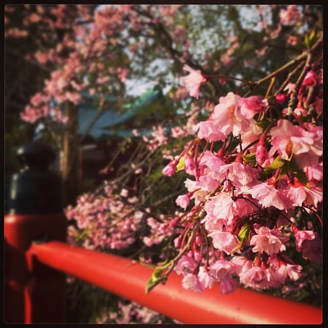 春は美しすぎて、心がきゅっとします。日本に生まれてよかった。
